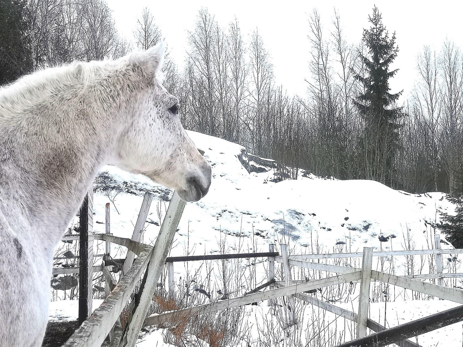 Ranch Valosaari hevonen
